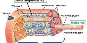 miofibrillas en fibra muscular
