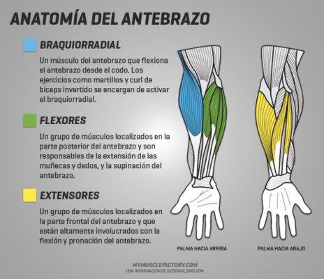 anatomía del antebrazo