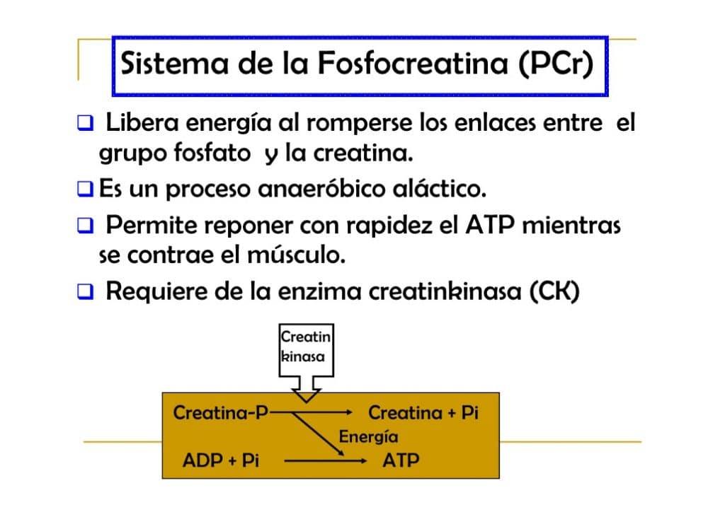 sistema de la fosfocreatina