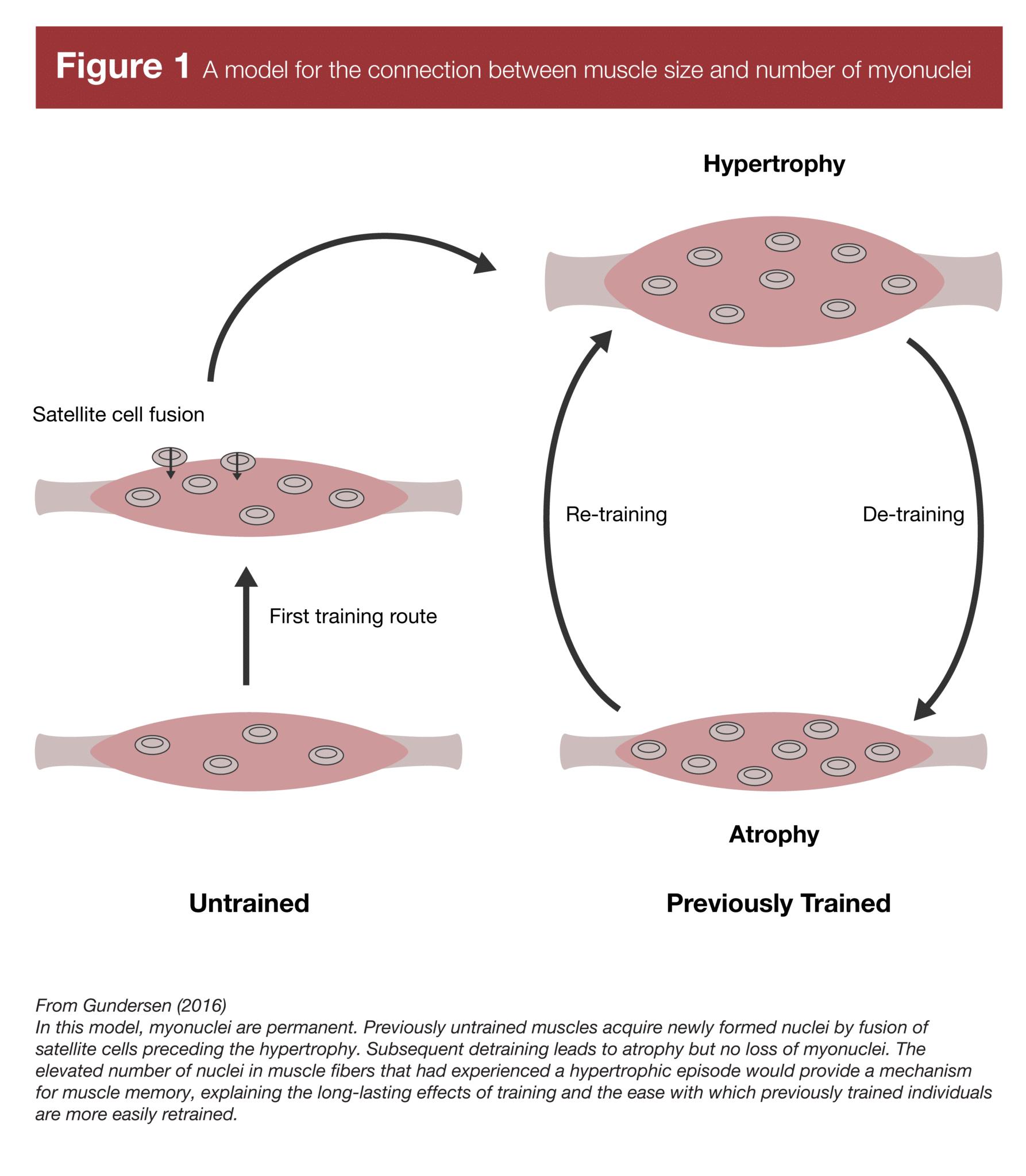 memoria muscular tamaño muscular y mionucleos